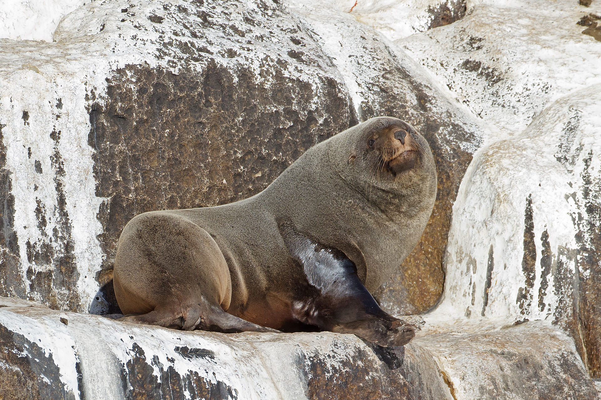 Brown fur seal - Wikipedia