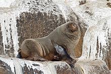 Arctocephalus pusillus - SE Tasmania.jpg