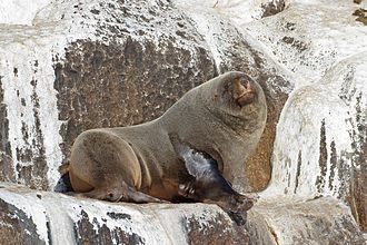 Brown fur seal - Hauling-out on the Hippolyte Rocks off the east coast of Tasmania