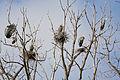 Ardea herodias -Illinois, USA -nests-8 (4).jpg