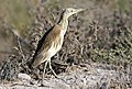 Ardeola ralloides - Squacco heron 04.jpg