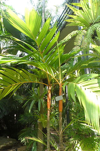 Areca - Image: Areca vestiaria