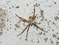 Argiope July 2012-1.jpg