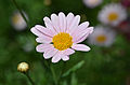 Argyranthemum 'Summer Pink' Flower.JPG