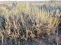 Artemisia tridentata wyomingensis (3696885852).jpg