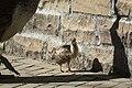 Artis Peacock chick (35407855764).jpg
