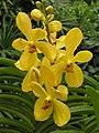 Ascorachnis Shah Alam City -新加坡植物園 Singapore Botanic Gardens- (9216072790).jpg