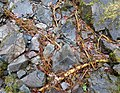 Ash roots exposed, Lodore Falls, Cumbria.JPG