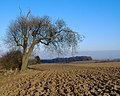 Ash tree, Risby, winter version - geograph.org.uk - 614490.jpg