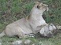 Asiatic Lioness 17.jpg