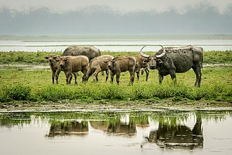 Wild water buffalo - A herd of wild water buffalo in Kaziranga National Park, Assam.