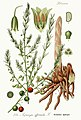 Asparagus officinalis - Prof. Dr. Thome Flora von Deutschland (Pl. 131).jpg