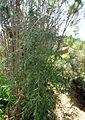 Asparagus scoparius kz3.JPG