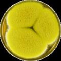 Aspergillus bertholletius meaox.png