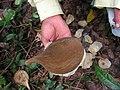 Aspidosperma spruceanum, gararoba - Flickr - Tarciso Leão (4).jpg