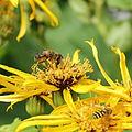 Asteraceae sp.-IMG 6108.jpg