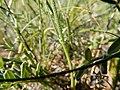 Astragalus flexuosus (26977223844).jpg