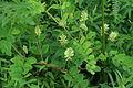 Astragalus glycyphyllos PID1095-1.jpg
