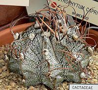 Astrophytum capricorne 4
