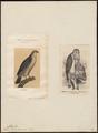 Astur palumbarius - 1700-1880 - Print - Iconographia Zoologica - Special Collections University of Amsterdam - UBA01 IZ18300003.tif