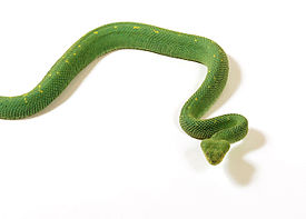 Atheris chloroechis vipere des buissons 15.jpg