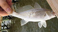 Atlantic Croaker.jpg