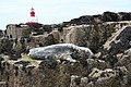 Atlantic Grey Seal, Longstone - geograph.org.uk - 448552.jpg
