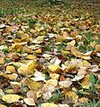 Autumn, falling leaves - Flickr - anantal.jpg