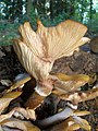 Autumn mushrooms 4 Honey Fungus (Armillaria mellea) (4034480227).jpg