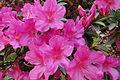 Azaleia jardim rosa.jpg