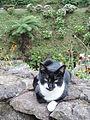 Azorsky cats DSCN4063.JPG