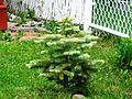 Baby Christmas tree in my garden - panoramio.jpg
