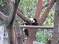 Baby Panda (12279924975).jpg