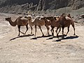 Bactrian Camels - panoramio.jpg
