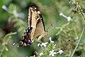Bahamian swallowtail (Papilio andraemon) underside.jpg