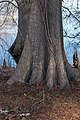 Bald Cypress NBG.jpg