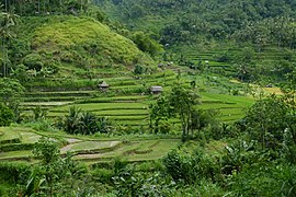 Bali, rice terraces 2.jpg