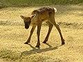 Bambi lol (162835439).jpg