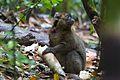 Bamboo lemur Prolemur simus (15287922473).jpg