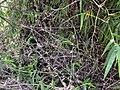 Bambus blumean 160603-59103 ponr.JPG