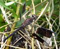Banded -winged Dragonlet.Erithrodiplax umbrata ( Male) - Flickr - gailhampshire.jpg