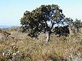 Banksia ilicifolia bonsai2 orig.JPG