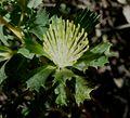 Banksia sessilis var. cygnorum-2.jpg
