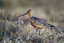 Bar-Tailed Godwit on Tundra.jpg