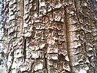 Bark of Pterocarpus santalinus.jpg