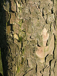 220px Bark Of An Old Sycamore