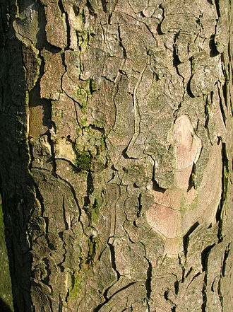 Frost crack - Sycamore bark with normal sloughing plates