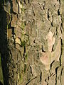 Bark of an old Sycamore.JPG