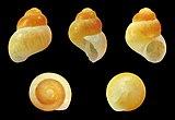 Barleeia tincta 01.jpg