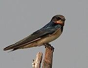 Barn Swallow (Hirundo rustica) in AP W IMG 3870